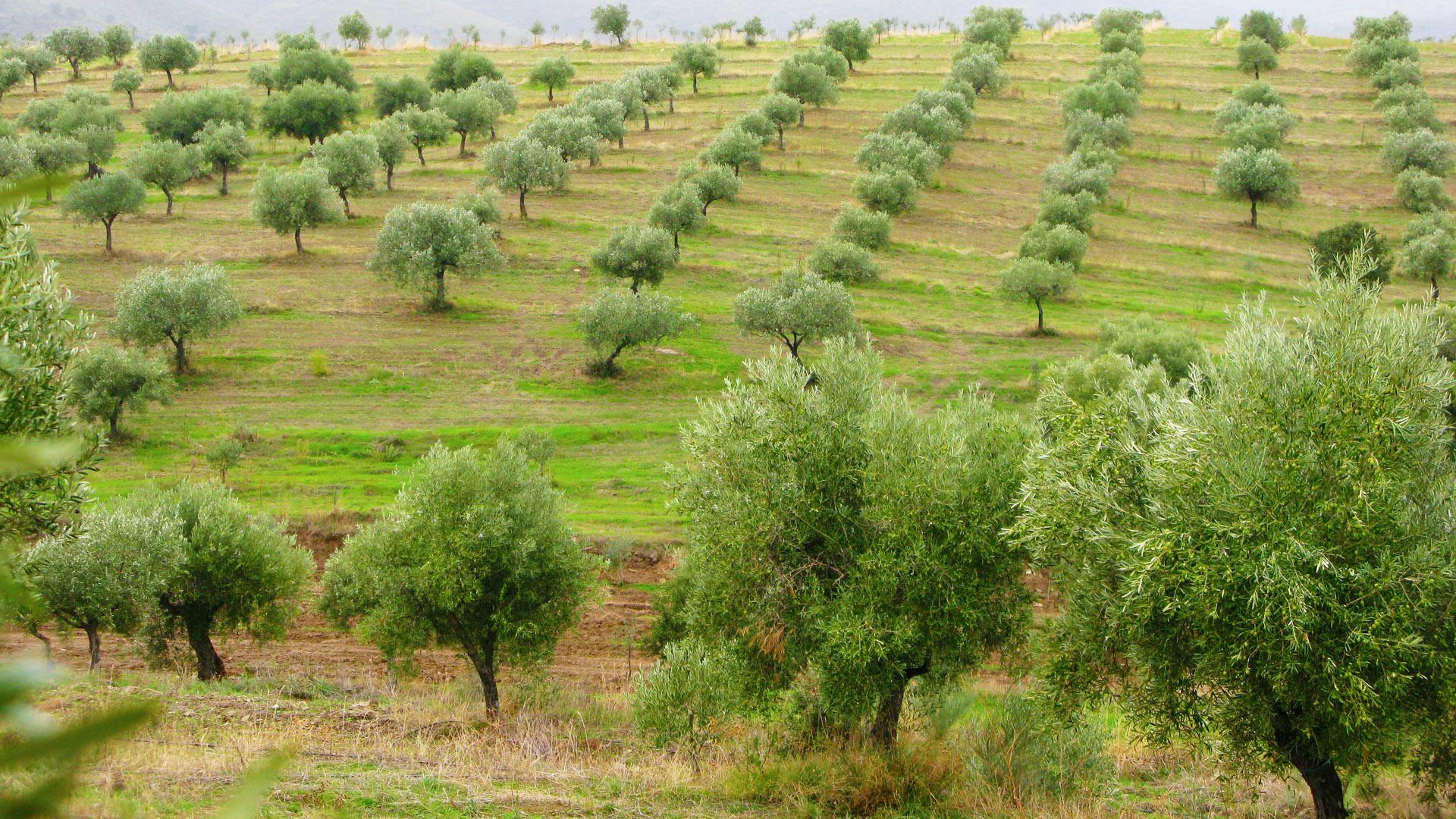 Organic Olive Grove